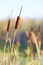 Bulrush Growing On The Pond