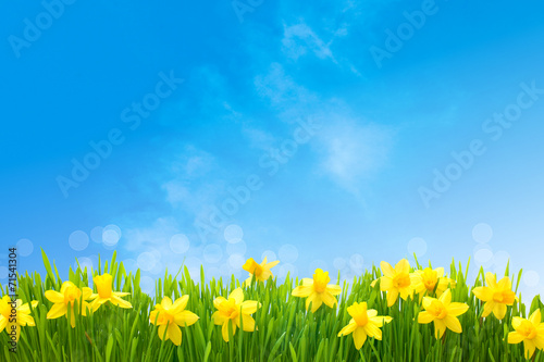 Daffodils against blue sky Wallpaper Mural