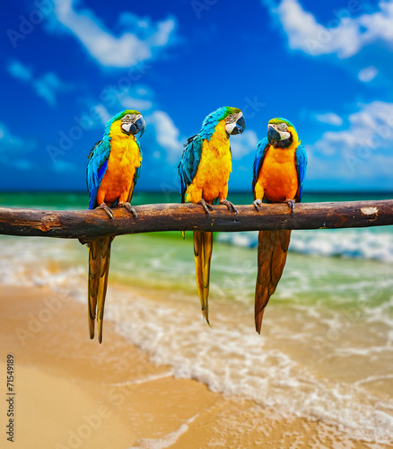 Fototapeta Blue-and-Yellow Macaw parrots on beach