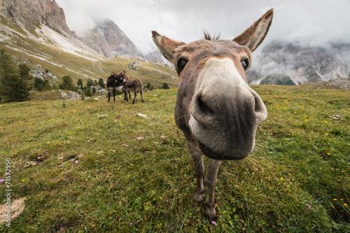 Poster Ezel curious donkey in Dolomites
