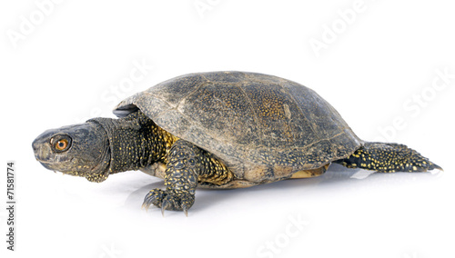Poster Tortue European pond turtle