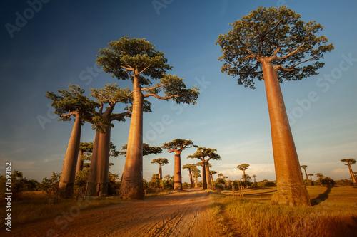 Spoed Foto op Canvas Baobab Baobabs