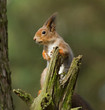 Squirrel on branch of pine tree