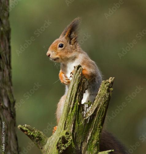 Aluminium Prints Squirrel Squirrel on branch of pine tree