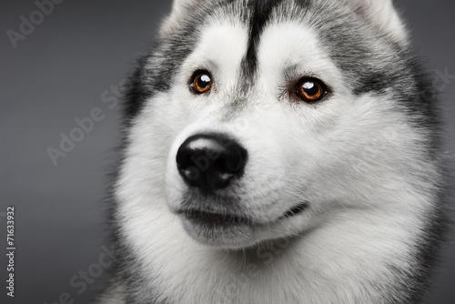 In den Augen eines schönen Huskys
