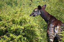 Okapi In The Vegetation