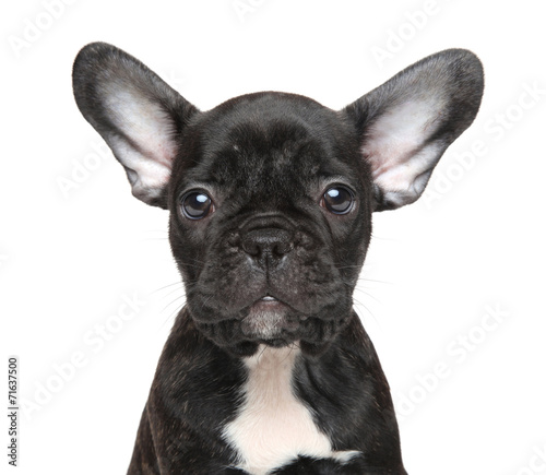 Poster Bouledogue français French bulldog puppy