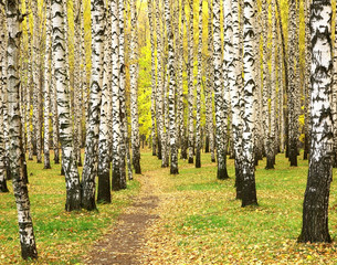 FototapetaAutumn in birch grove
