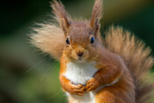 Red Squirrel Looking So Cute