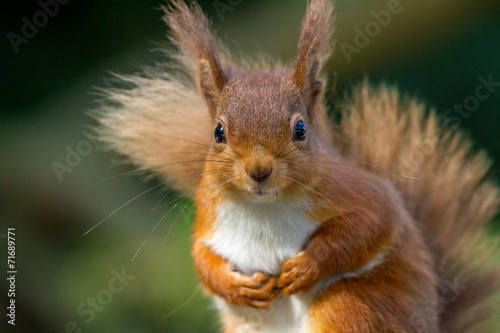Tuinposter Eekhoorn Red Squirrel looking so cute