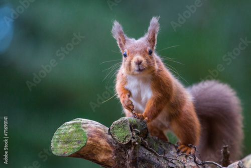 Fotomural  Red Squirrel pleased to see me