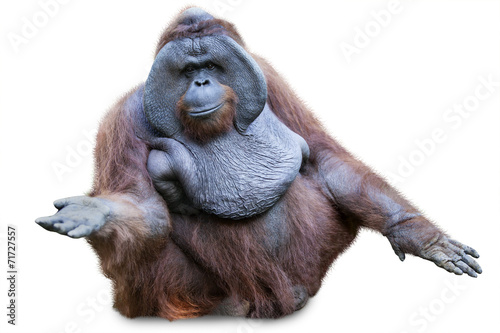 Foto op Canvas Aap Orang utan sitting on white