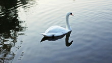 Swan Swims In Lake, And Two Wi...