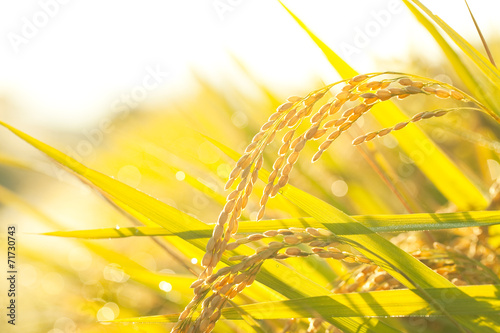 Poster Jaune 収穫前の稲穂