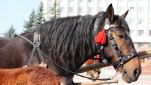 Strong Brown Adult Horse Harnessed To Chariot, Close-up