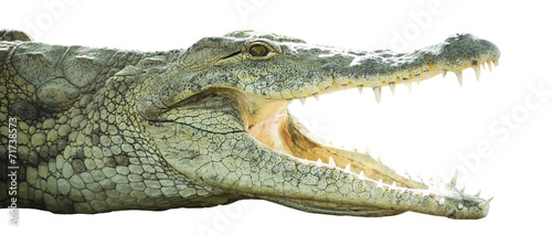 In de dag Krokodil crocodile with open mouth