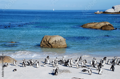 Foto op Plexiglas Zuid Afrika penguin colony on the ocean beach near Capetown