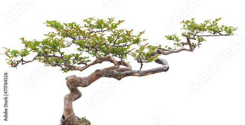 Foto op Aluminium Bonsai Bonsai pine tree against a white wall