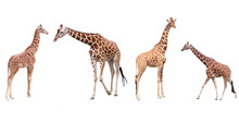 Set From Four Giraffes  Isolated On A White Background