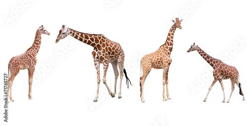 Foto auf Gartenposter Giraffe Set from four giraffes isolated on a white background