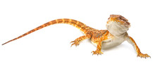 Bearded Dragon - Pogona Vittic...