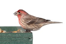 Male House Finch (Carpodacus M...