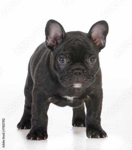 Foto op Plexiglas Franse bulldog french bulldog puppy