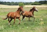 Dwa galopujące konie