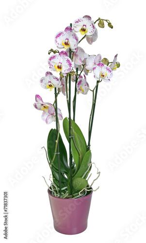 Papiers peints Orchidée orchidée phalaenopsis 4 branches