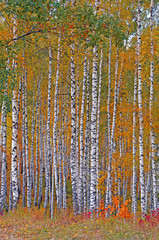Fototapeta Autumn birch grove