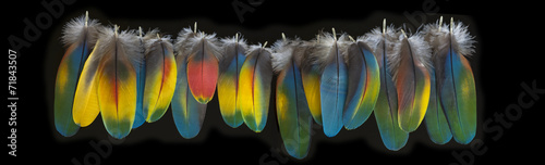 Macaw feather isolated on black background. BIg panorama.