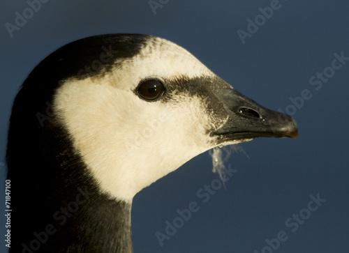 Photo  Barnacle goose