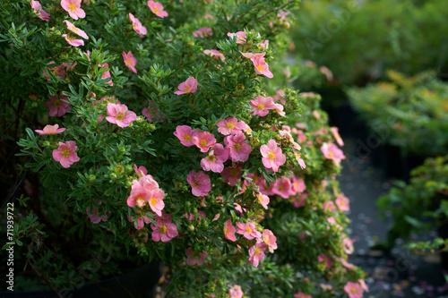 Potentilla fruticosa Pink Beauty  - cinquefoils Fototapet