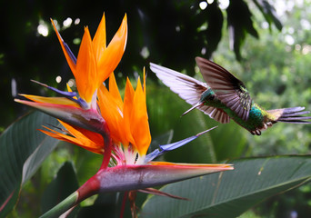 Fototapeta na wymiar Flying Hummingbird at a Strelitzia flower