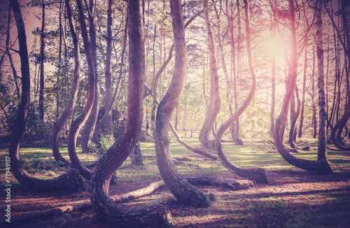 Vintage filtered picture of sunset at mysterious crooked forest in Gryfino, Poland
