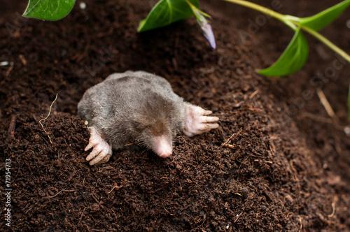 Obraz na plátně Mole in the soil hole in the garden