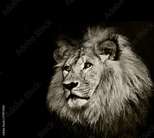 Fotobehang Leeuw strong lion