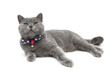 Gray Cat Wearing A Collar With...