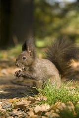 Naklejka na ściany i meble squirrel