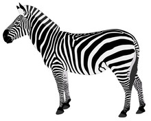 Detailed Illustration Of Zebra...