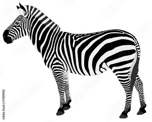 detailed illustration of zebra - vector - 71989982