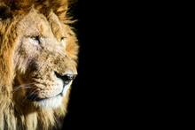 Old Lion On Black Background W...