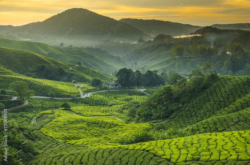 Fototapeta Tea plantation Cameron highlands, Malaysia