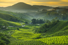 Tea Plantation Cameron Highlan...