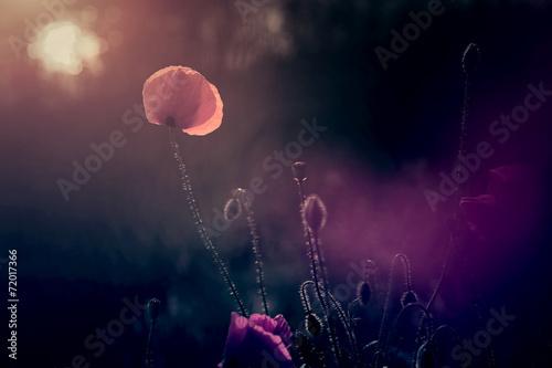 Photo  Poppy field in sunset