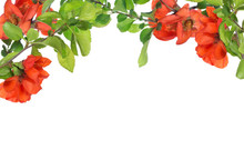 Blossoming Pomegranate Tree Branches On White