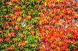 canvas print picture - Herbstliche Blaetter rot gelb und gruen von Wildem Wein