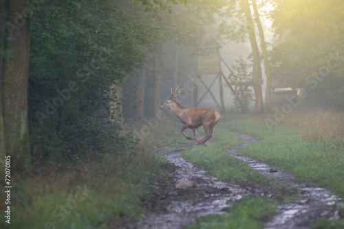 Printed kitchen splashbacks Khaki Red deer