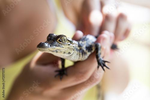 Fotografie, Obraz  Baby alligator being held, Everglades in Florida.