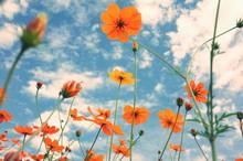 秋のコスモスと青い空